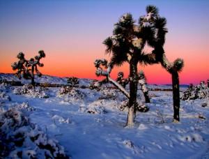Joshua_Trees_in_Snowsm